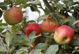 applesjpg-8b19d151b0933c6f.jpg