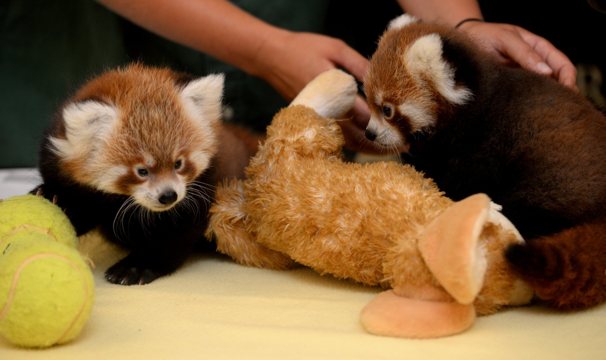 New red panda babies born at Syracuse zoo...and they're adorable ...