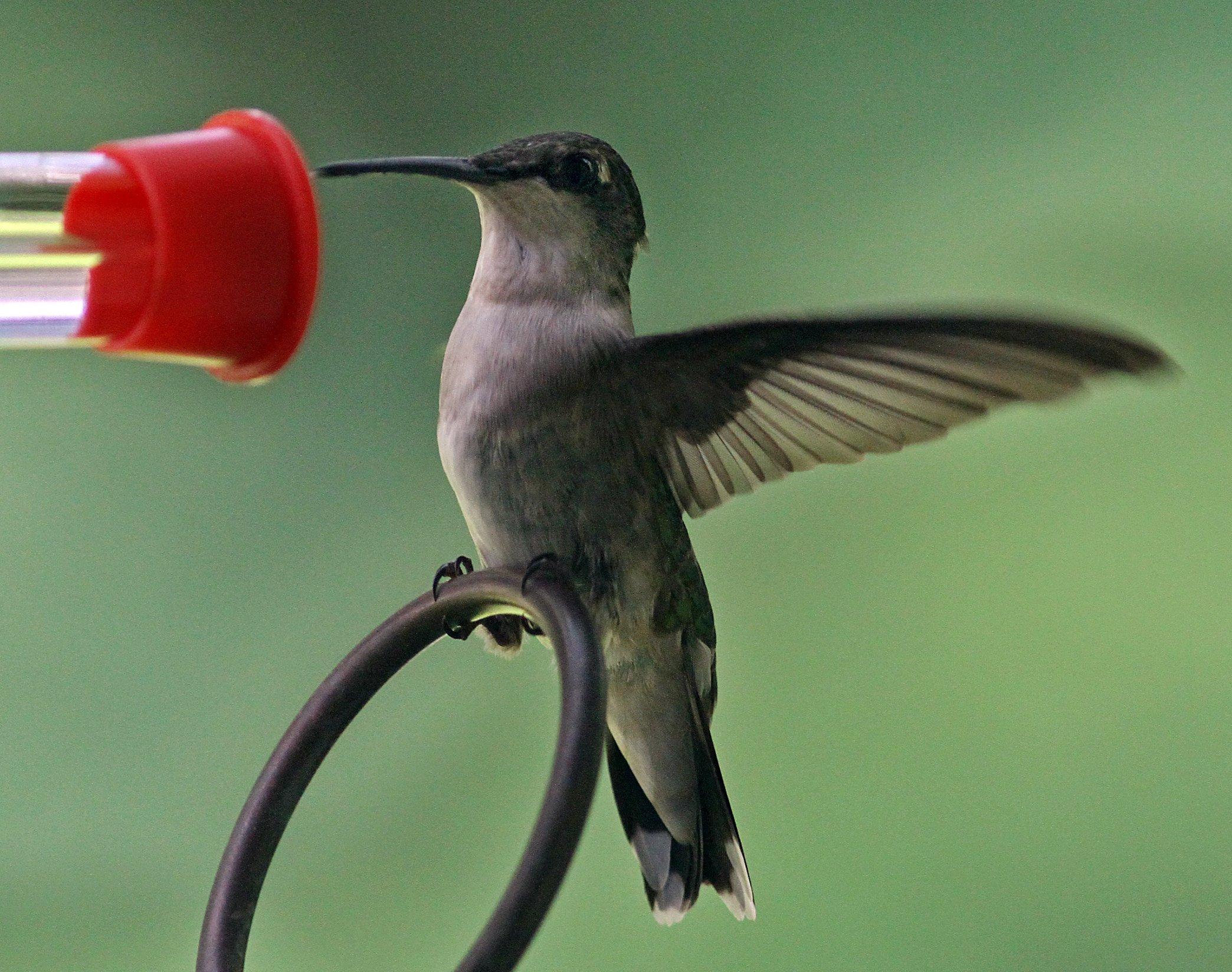 Mientras Colombia crece más seguro, los turistas - especialmente los amantes de los pájaros - Flock Back: Parallels: NPR
