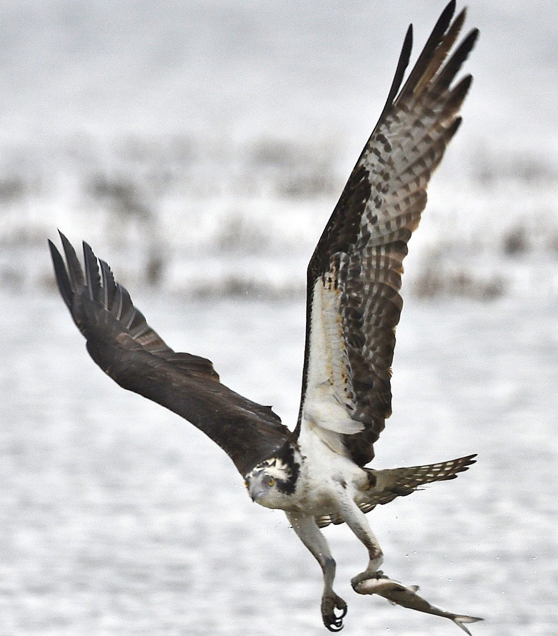Successful ny osprey comeback story now includes rise in for Osprey catching fish
