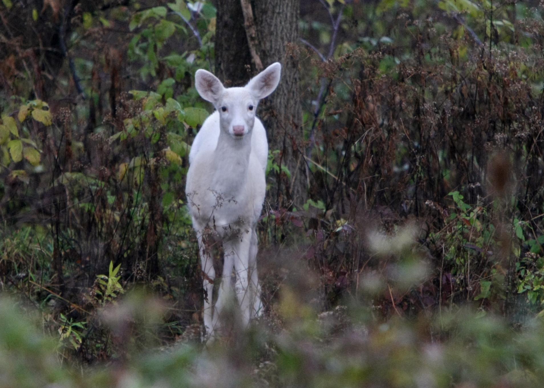 Trail camera close ups White deer turkeys on former Seneca Army