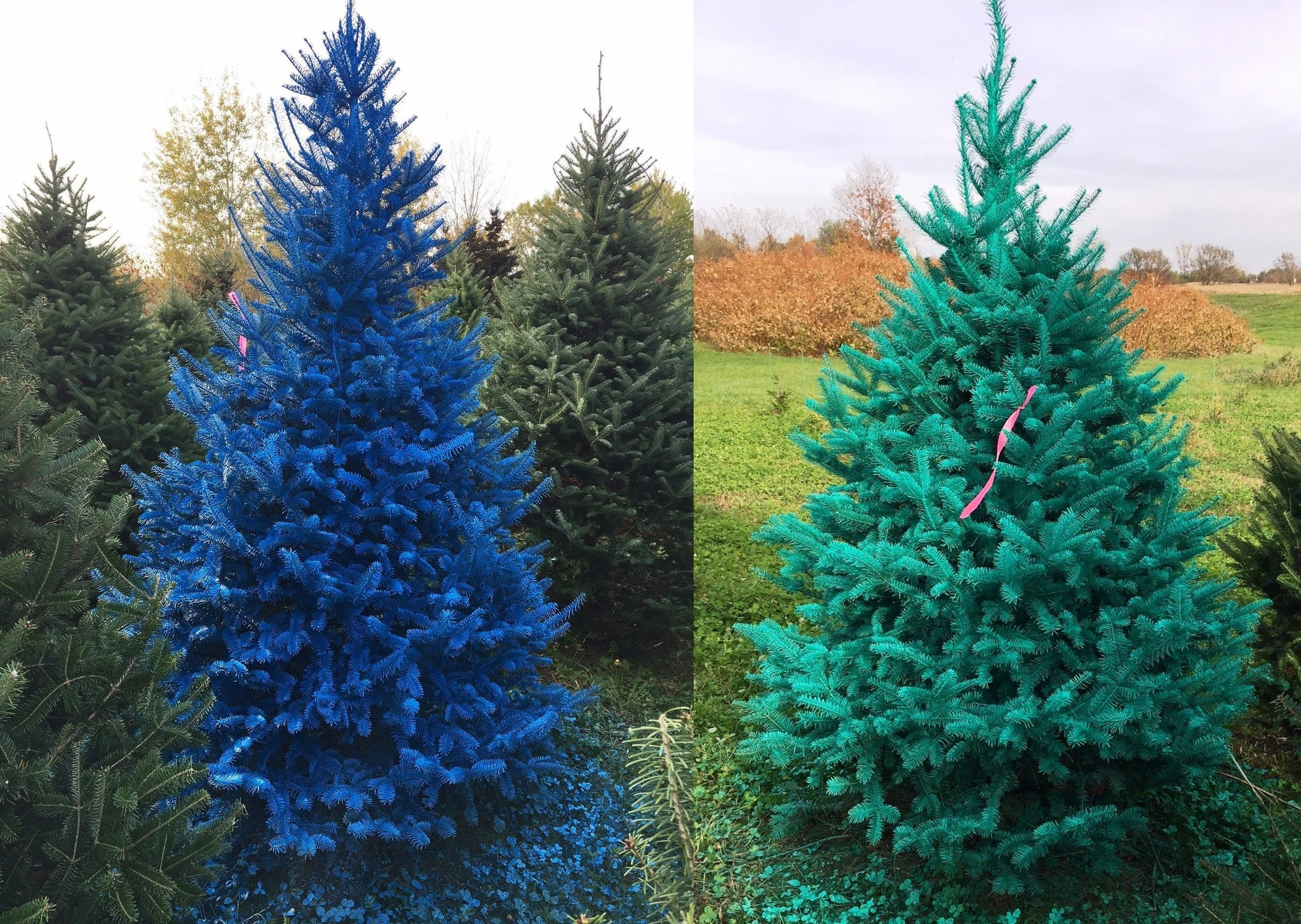 Troopers seek real-life Grinch: Painted Christmas trees stolen from ...